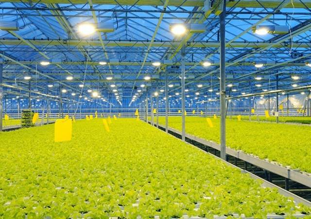 rows of lettuce growing under greenhouse supplemental lighting