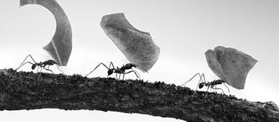 Three ants carrying large pieces of food.