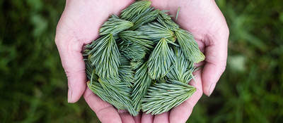 Hands holding green pine cones