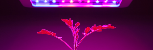 plant under horticultural lighting
