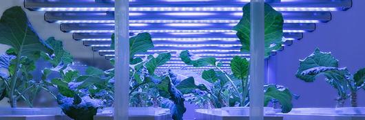 plants under purple horticultural lighting
