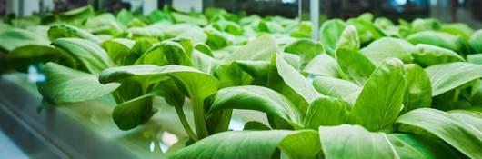 Vegetables growing in indoor farm