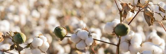 Picture of a field of cotton
