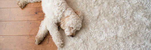 White dog laying on white area rug over hardwood floor
