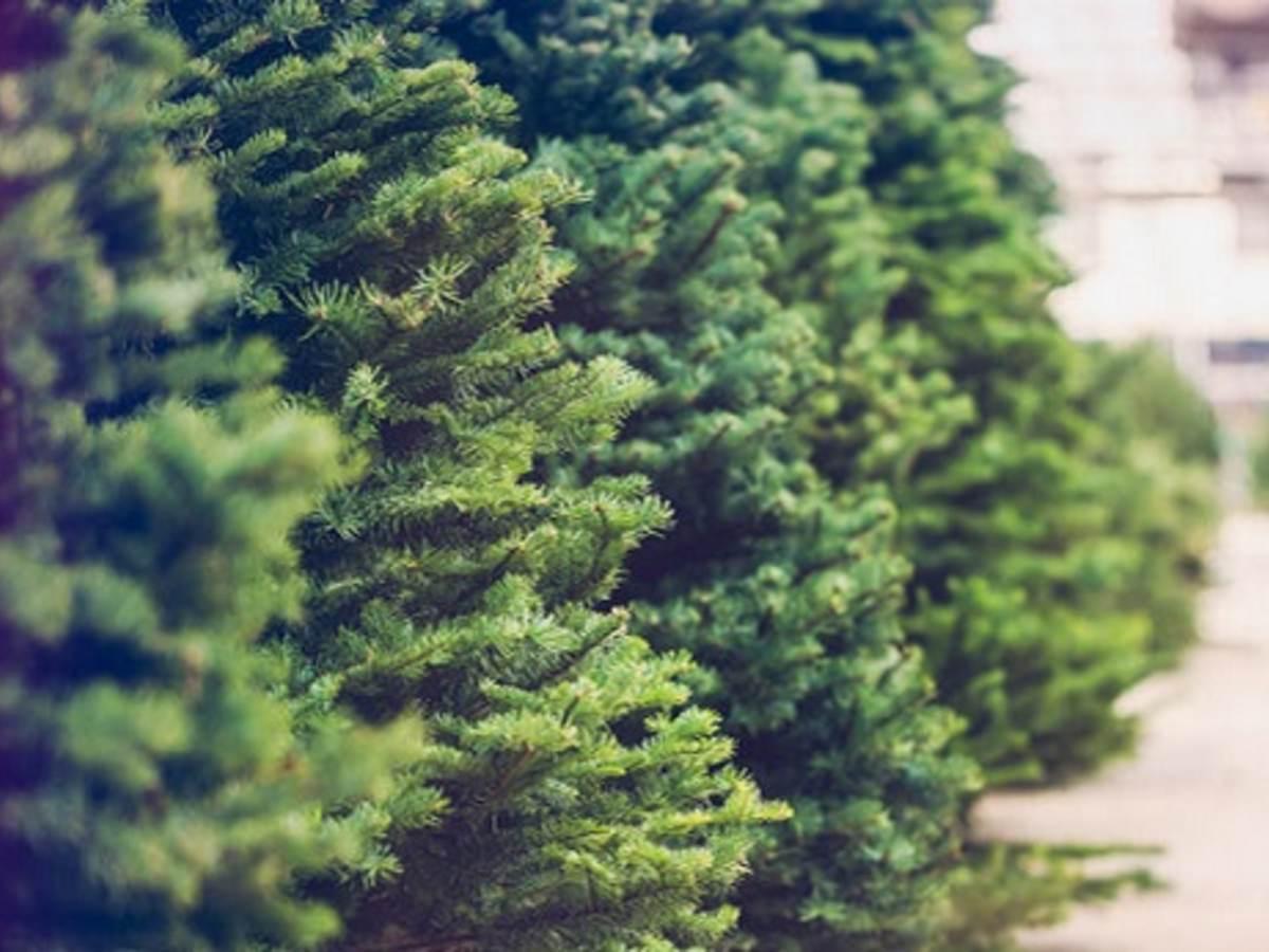 Row of fresh cut green trees at Christmas tree farm