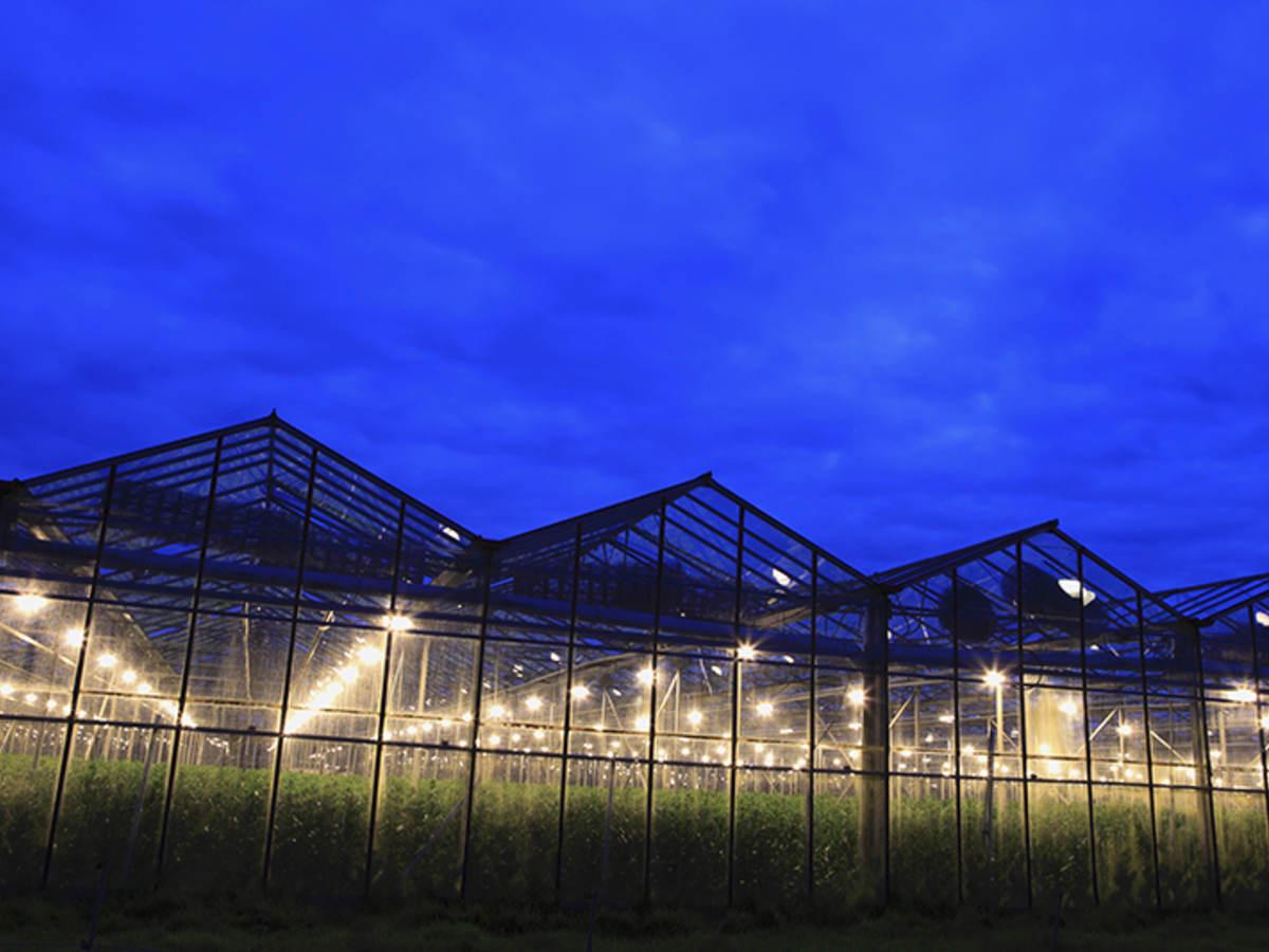 Row upon row of lights shine inside a cannabis facility.
