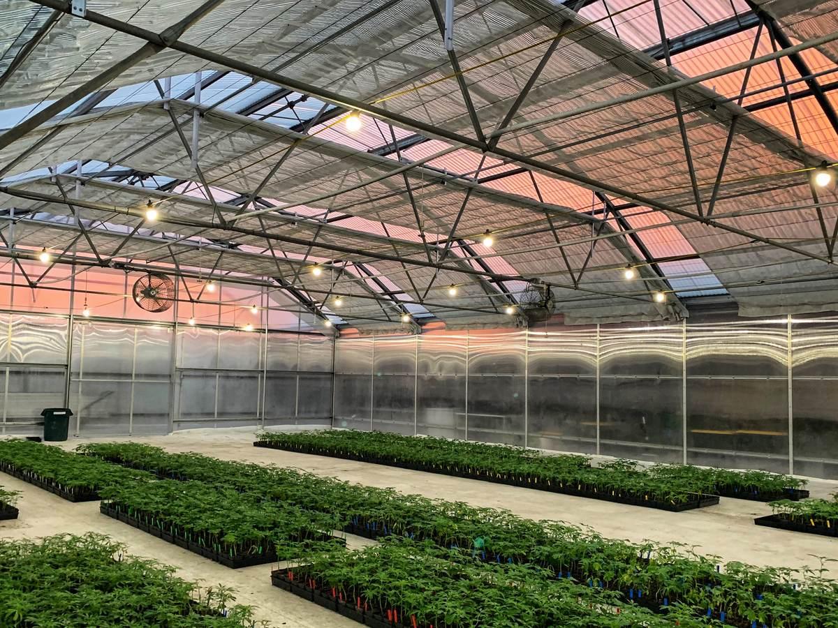 Cannabis plants growing indoors.
