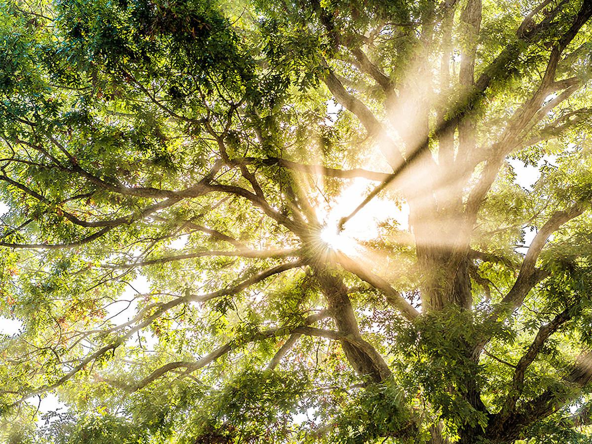 Sunshine through treetop canopy