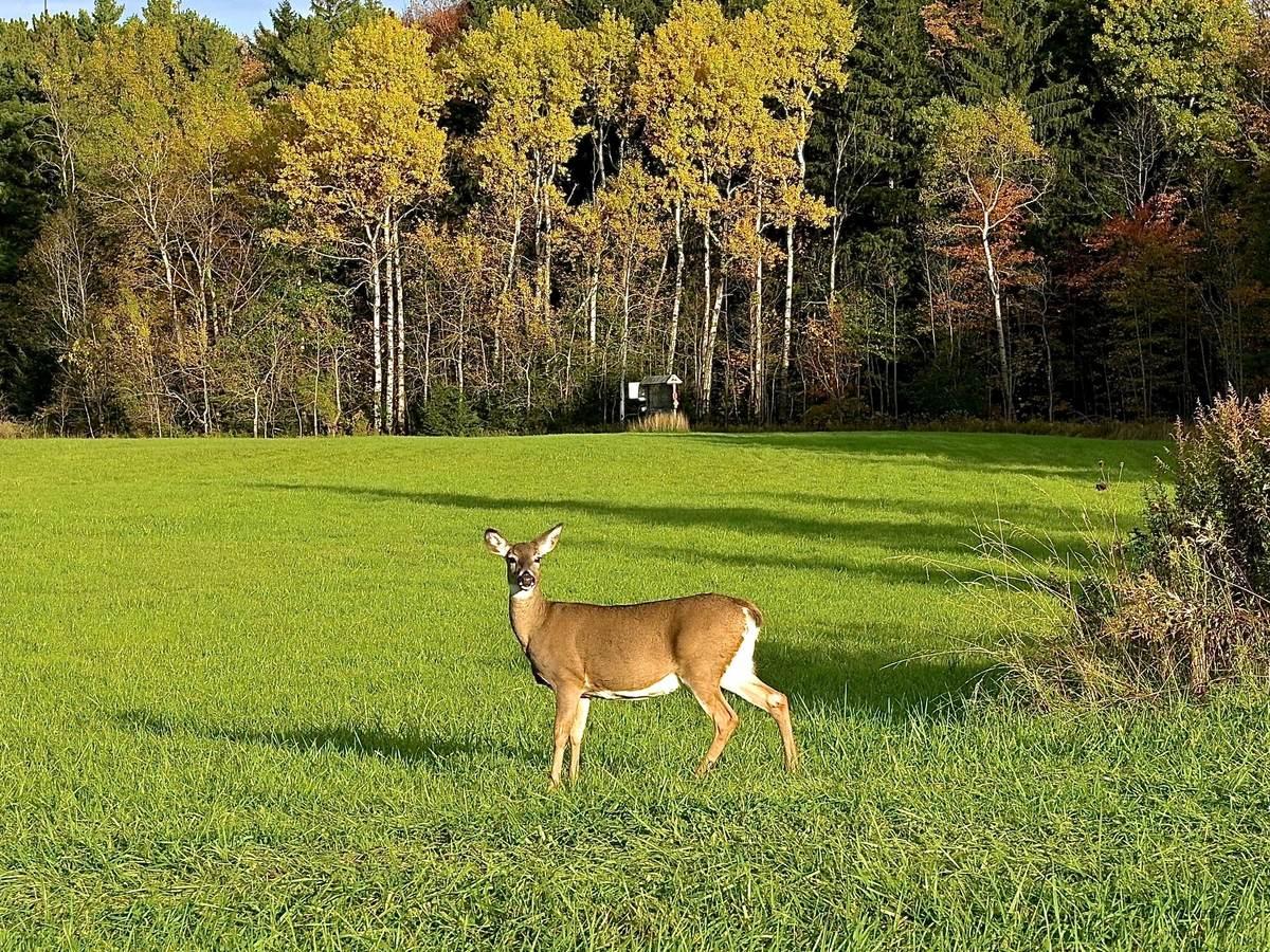 Deer standing in grass field