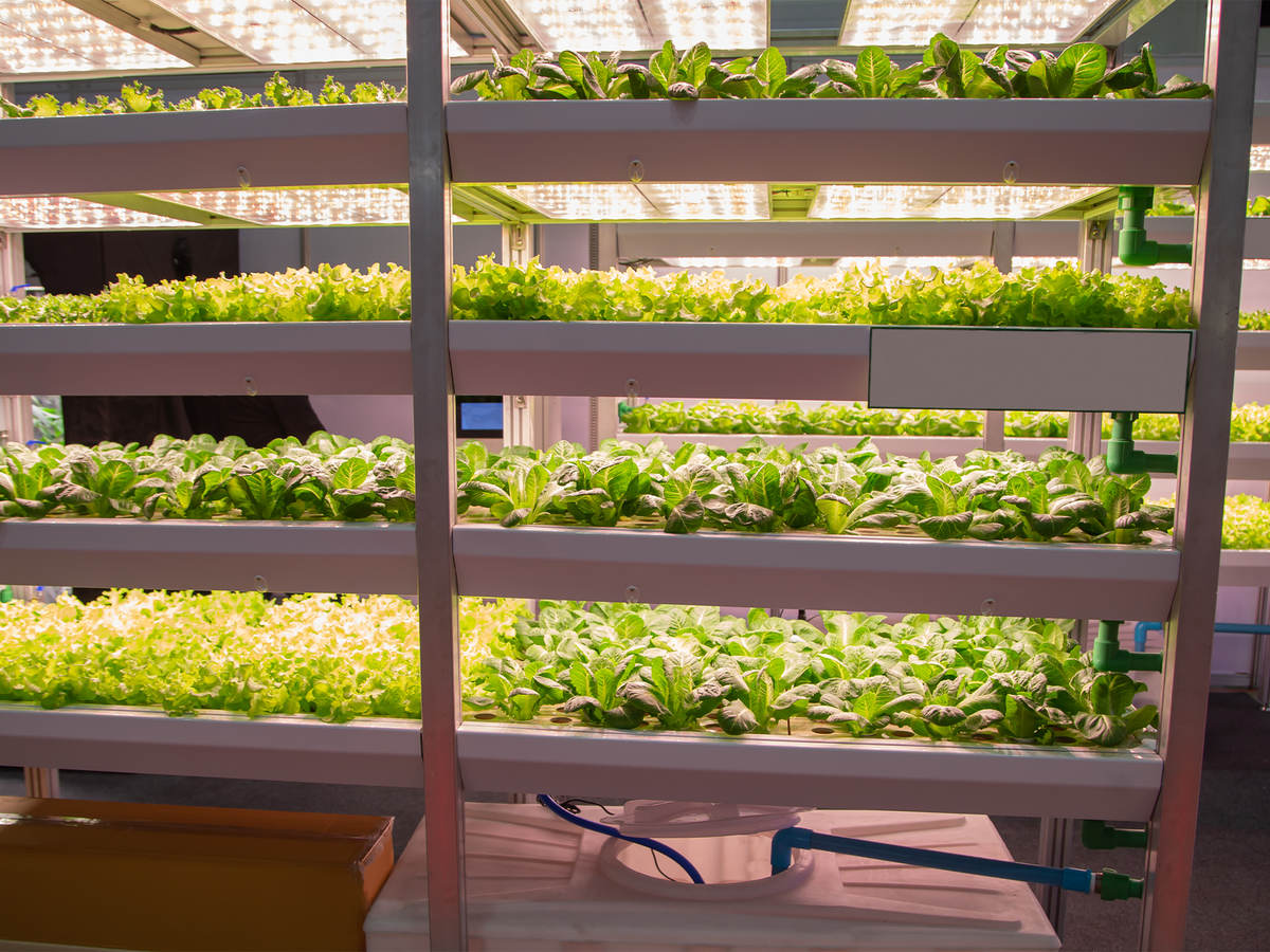 Plants being grown under LED lights.