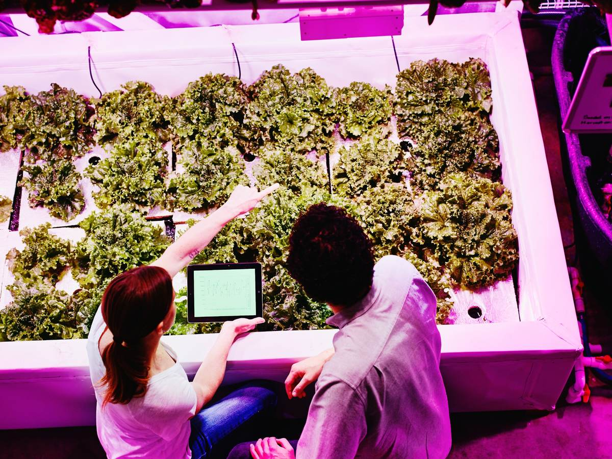 Engineers check plant growth in a greenhouse under specialized horticultural lighting.